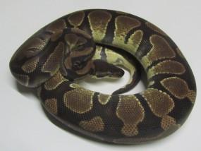 0,1 Python regius DNZ 2009