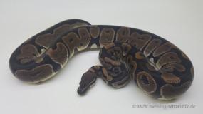 0,1 Python regius DNZ 2011