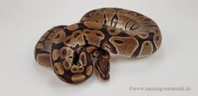 0,1 Python regius ENZ 2013