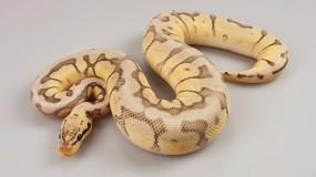 0.1 Python regius
