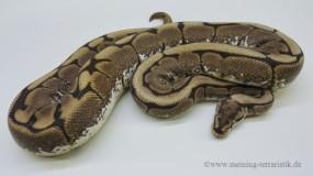 0,1 Python regius Spider, ENZ 2011
