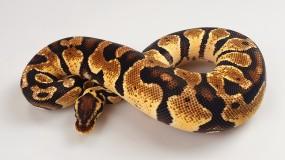 1.0 Python regius