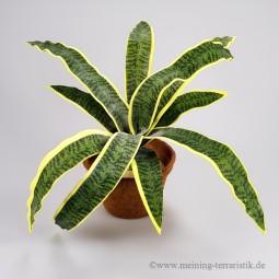 Sansevieria, grün-gelb, 50cm