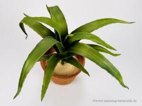 Aloe, grün, 50cm