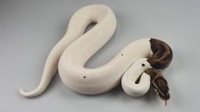1,0 Python regius