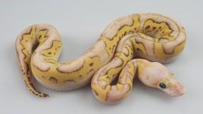 0,1 Python regius