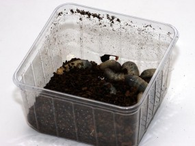 Rosenkäferlarven 10 Stück, groß