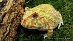 Schmuckhornfrosch ( Ceratophrys cranwelli )