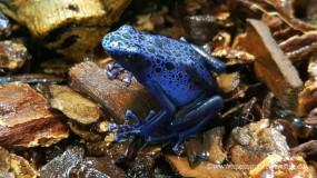Blauer Pfeilgiftfrosch ( Dendrobates azureus ) DNZ 2019