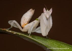 1.0 Orchideenmantis, adult