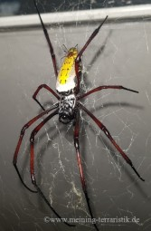 0.1 Nephila kenianensis DNZ 2021