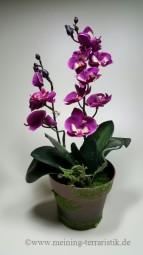 Orchidee Purpur im Topf, ca. 30 cm