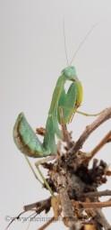 Gottesanbeterin, Sphodromantis viridis, ca. 2 cm