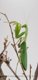 Gottesanbeterin, Sphodromantis lineola, ca. 5-6 cm
