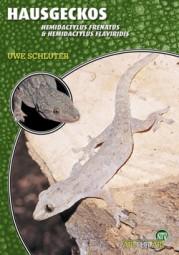 Hausgecko - Hemidactylus frenatus