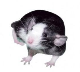 Ratte klein ca. 30g - 50g lebend